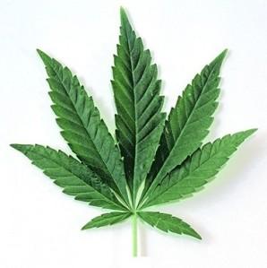 Cânhamo (Cannabis sativa)