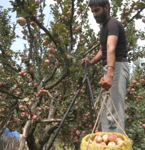 Colheita de maçã
