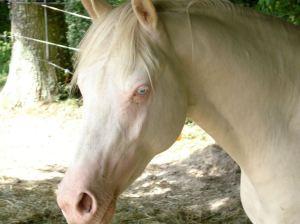 Cavalo albino