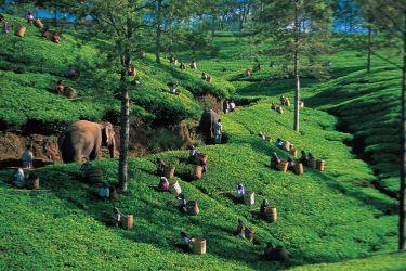 Ceilão - plantação de chá