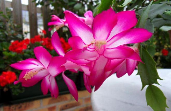 Flor-de-maio