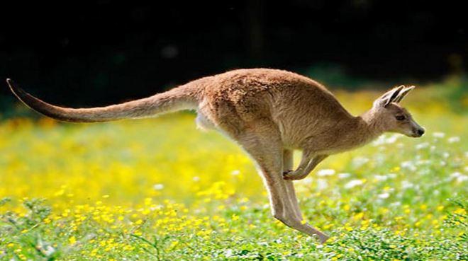 Canguru 1